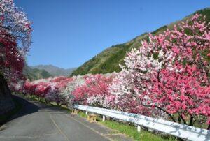 長野県阿智村の花桃街道は日本一の桃源郷!温泉や満天の星を見るツアーなど楽しみも満載!!