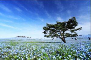 花と海の大パノラマ!【茨城県/国営ひたち海浜公園】を満喫しよう